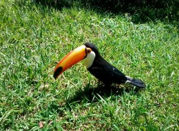 Guarda Ambiental de Itatiba realiza soltura de Tucanos