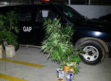 GAP encontra cultivo de maconha no Jardim das Nações