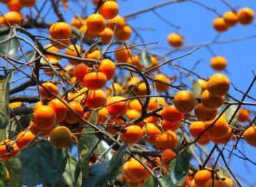 Produção de Caqui é responsável por movimentar parte da economia de Itatiba