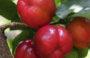 Aprenda a cultivar frutas na sua casa ou apartamento