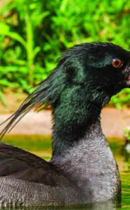 O Pato-Mergulhão é uma das espécies de aves mais ameaçadas de extinção